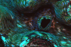 Macro close-up of the colorful patterns of a giant clam; ... by Aj Hiller